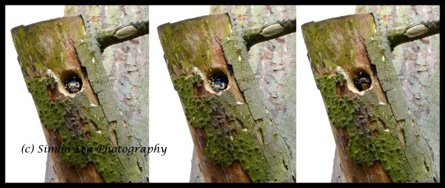 Greater spotted woodpecker nest building FINAL