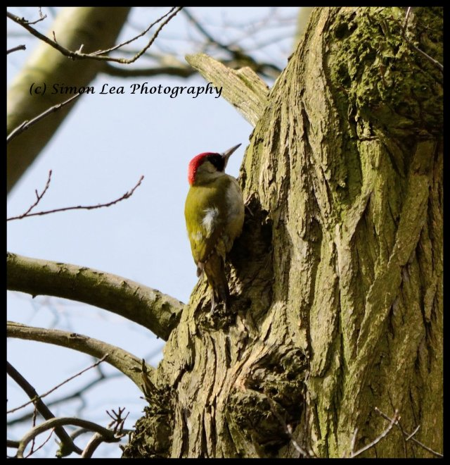 Green Woodpecker FINAL